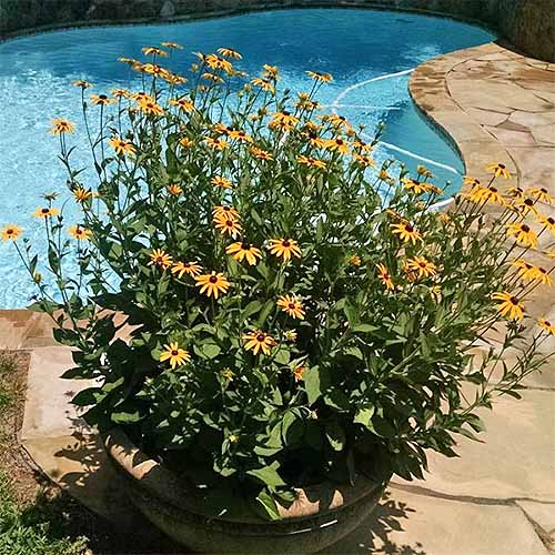 Potted 'Goldsturm' Black-Eyed Susan | GardenersPath.com