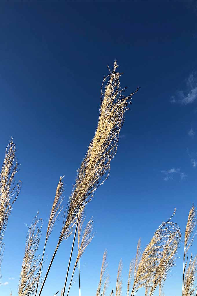 A close up vertical image of rushes growing in the garden pictured on a blue sky background.