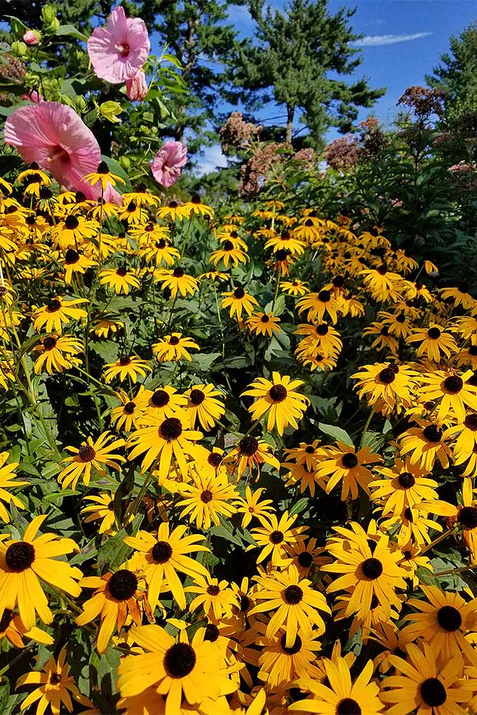 Black-eyed susan grows well with other plants, and blooms prolifically in a sunny location. We share our top tips for adding these perennial favorites to your garden: https://gardenerspath.com/plants/flowers/grow-black-eyed-susan/