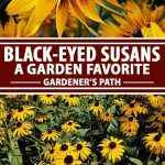 A collage of photos showing different views of black-eyed susan flowers in bloom.