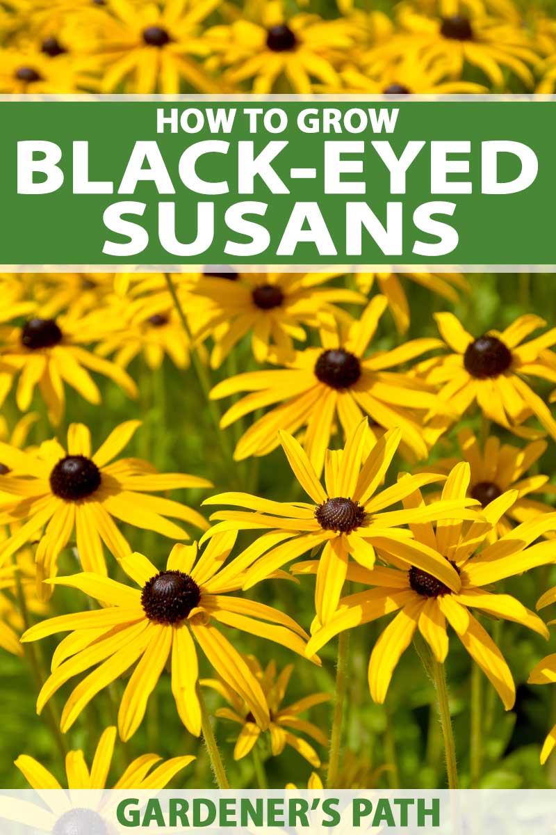 A close of few of a clump of yellow black-eyed susan flowers in bloom.
