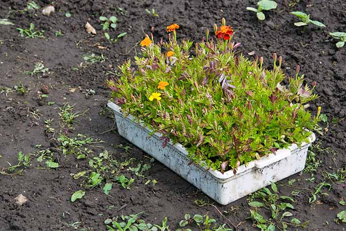 A white planter of young marigold plants set on a dirt garden bed. | GardenersPath.com