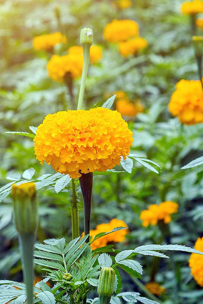 Want to add vibrant orange and yellow marigolds to your garden? We share our planting tips: https://gardenerspath.com/plants/flowers/grow-marigolds/