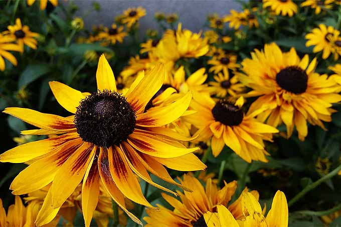 Rudbeckia flowers growing in the garden | GardenersPath.com