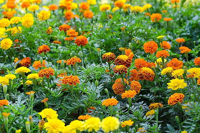 Orange and yellow blooming marigolds | GardenersPath.com
