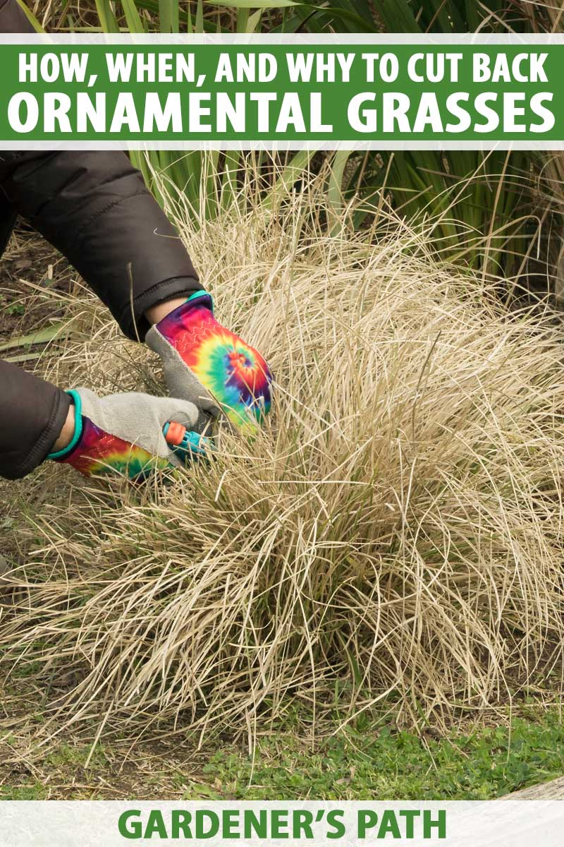 Pair of human hands pruning the tops of ornamental grasses.