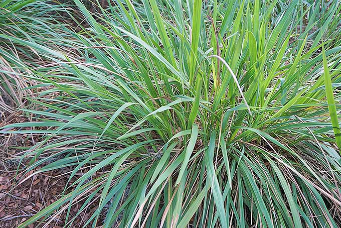 A close up horizontal image of a clump of ornamental grass growing in the garden pictured on a soft focus background.