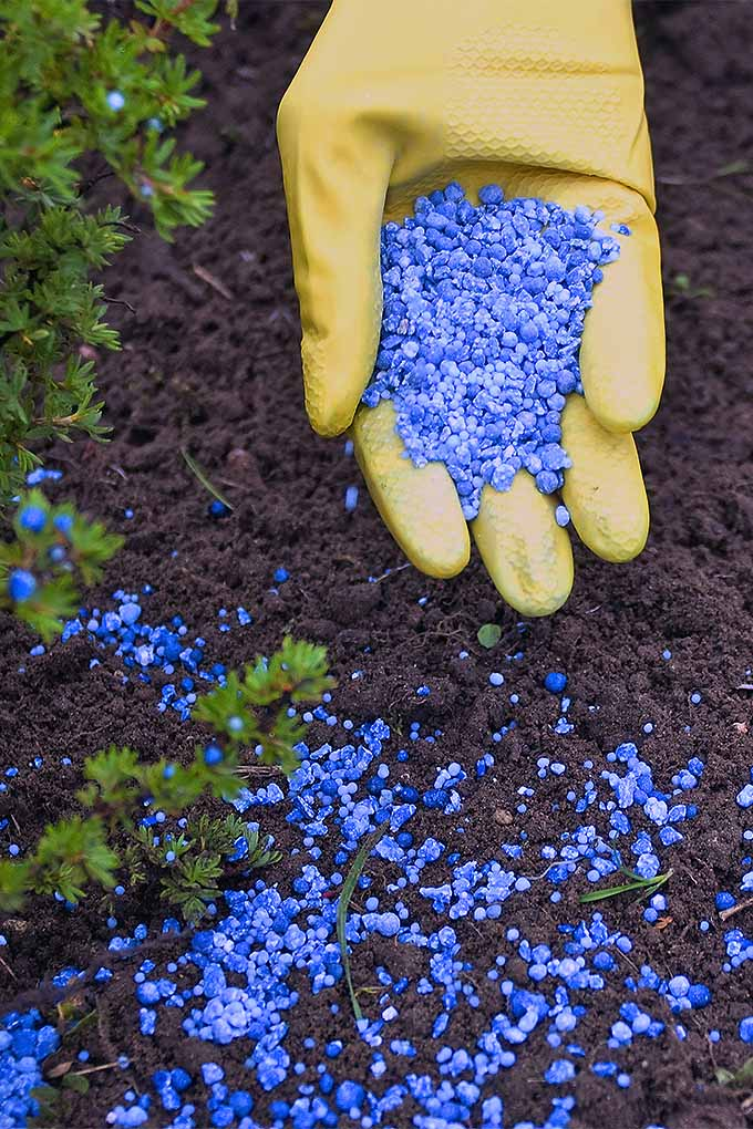 Apply granulated fertilizer and other garden chemicals safely and appropriately, with these tips: https://gardenerspath.com/how-to/beginners/safe-chemical-application/