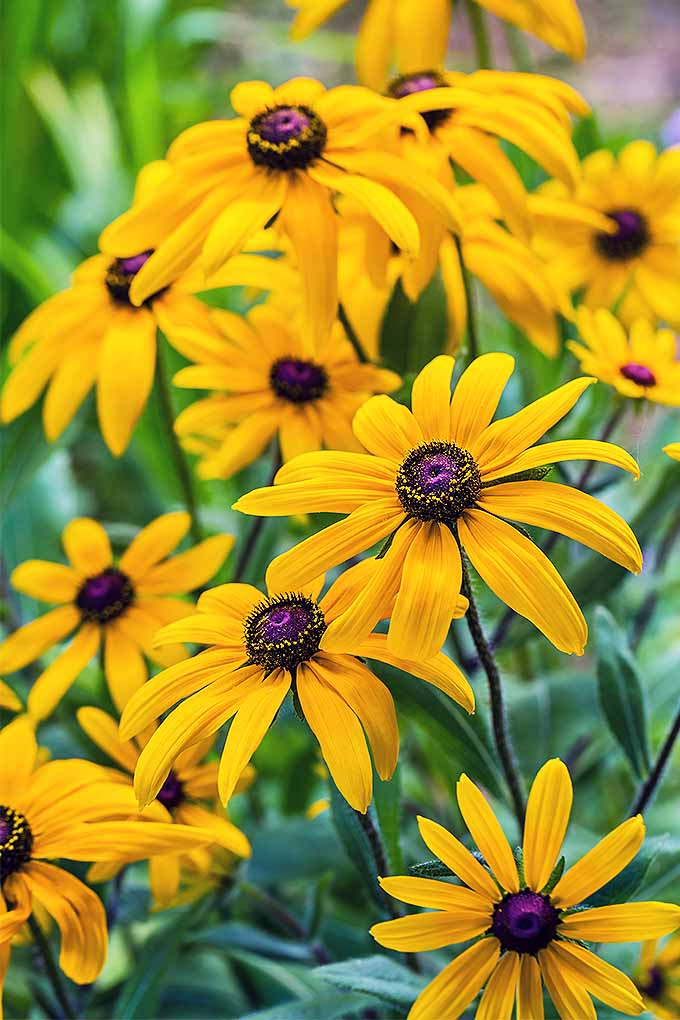 Rudbeckia hirta (aka black-eyed susan) is a garden favorite. We share our tips for growing your own beautiful blooms: https://gardenerspath.com/plants/flowers/grow-black-eyed-susan/