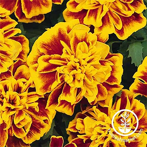 Bonanza marigolds with stripy yellow petals with red centers | GardenersPath.com