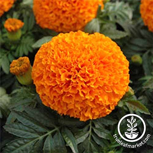Moonsong Deep Orange Marigolds | GardenersPath.com