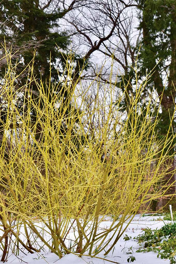 Yellow twig dogwood (Cornus sericea).