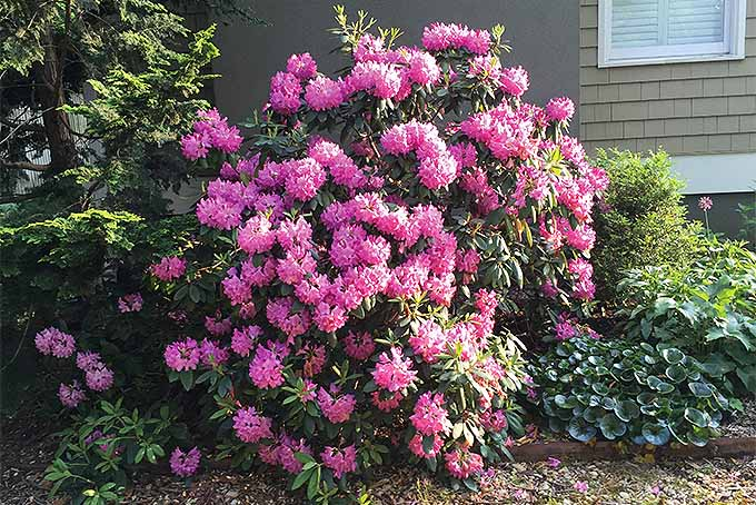 Catawba rhododendron (Rhododendron catawbiense).
