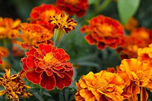 How to Plant and Grow the Glorious Marigold