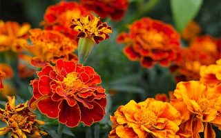 An Ode to the Marigold: Revisiting a Garden Staple