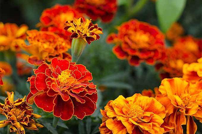Grow marigolds in your garden | GardenersPath.com