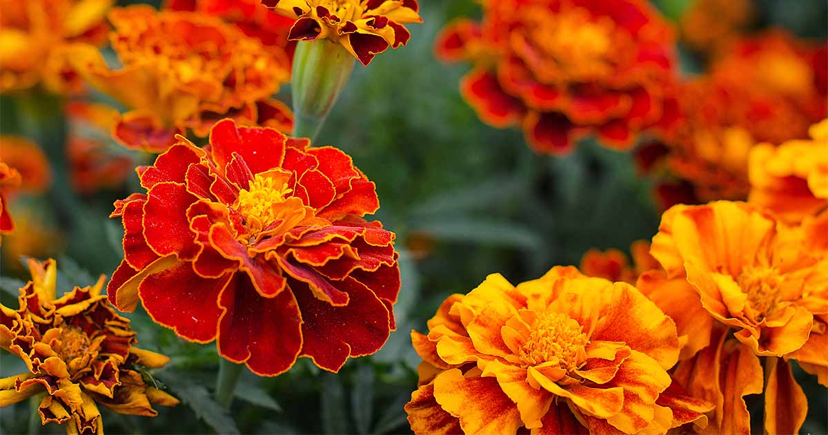 How to grow the best varieties of marigolds gardeners path mightylinksfo