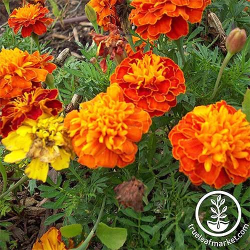 Petite mixture marigolds in red-orange, orange, and yellow | GardenersPath.com