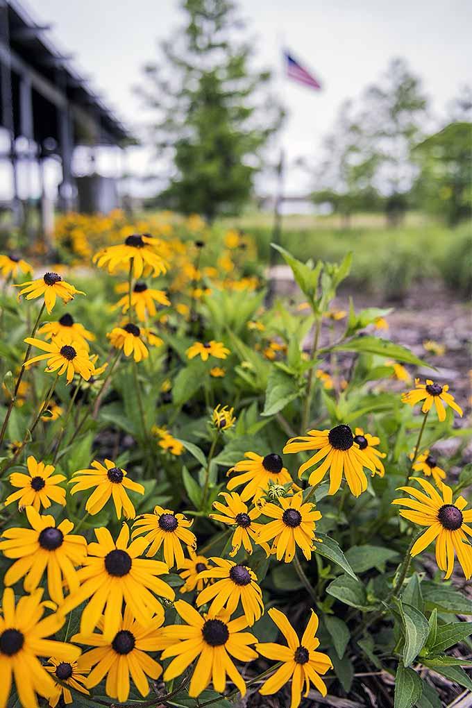 How to grow black eyed susan flowers gardeners path poor land daisies gardenerspath mightylinksfo