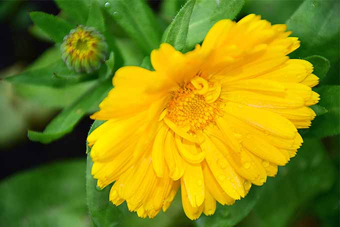 Yellow calendula, aka pot marigold | GardenersPath.com