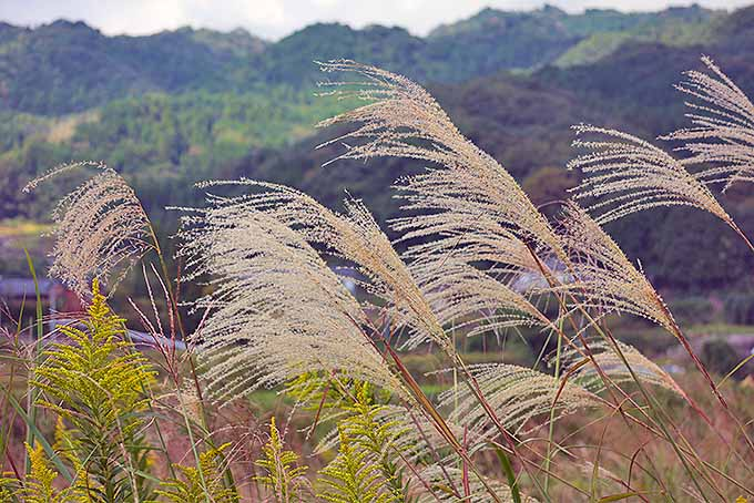 A horizontal image of the seed heads of tall grasses in a mountain landscape.