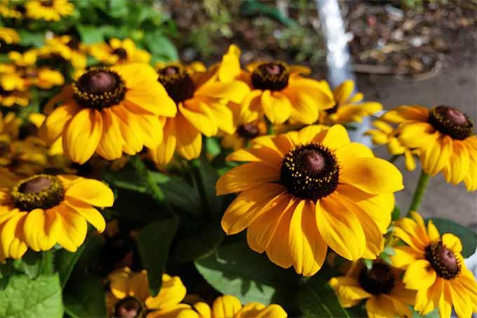 Rudbeckia hirta | GardenersPath.com