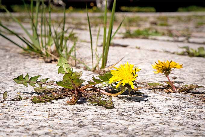 Herbicides can take care of unwanted weeds, but shouldn't be your first line of defense. | GardenersPath.com