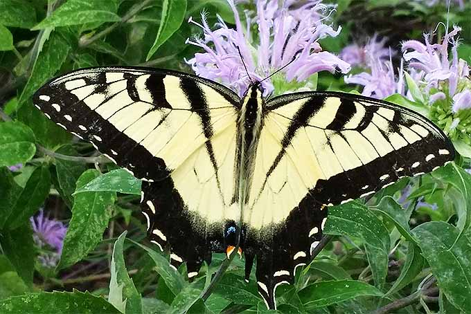 Swallowtail butterflies are welcome pollinators in the garden. | GardenersPath.com