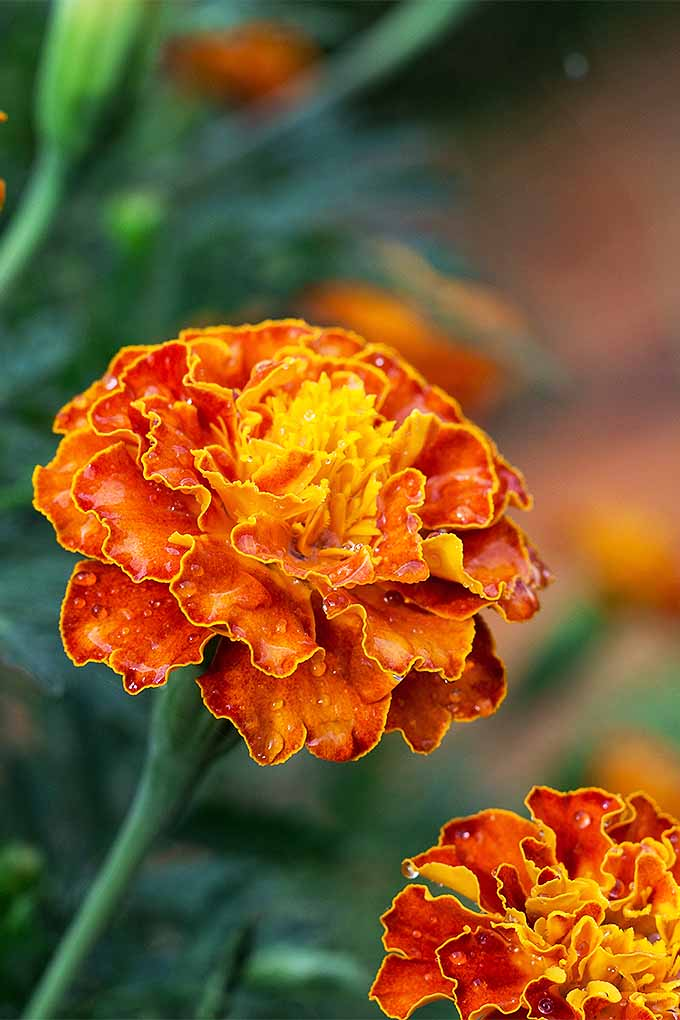 Grow gorgeous marigolds this summer, with our tips: https://gardenerspath.com/plants/flowers/grow-marigolds/