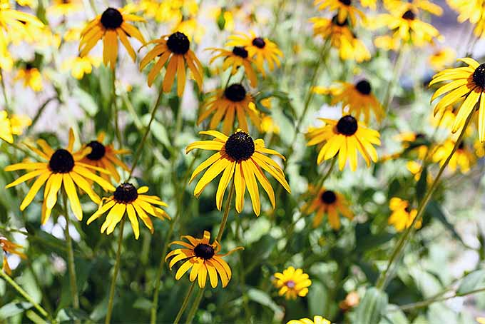 Try these tips for growing Rudbeckia flowers at home | GardenersPath.com