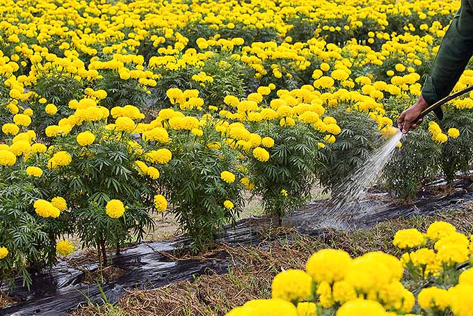 Water marigolds properly | GardenersPath.com