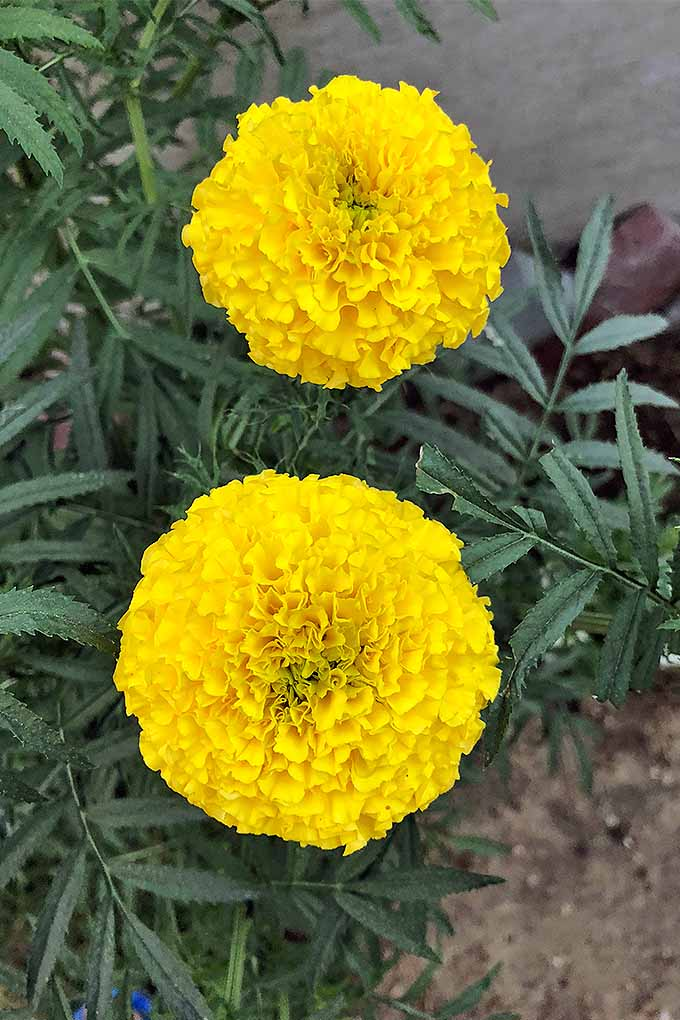 Marigolds are a garden staple- but do you know how to grow them in your garden, and perhaps more importantly, why you should? Learn more now on Gardener's Path!