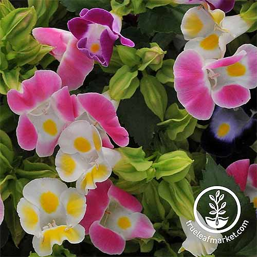 A close up square image of 'Kauai Mix' torenia flowers growing in the garden pictured on a soft focus background. To the bottom right of the frame is a white circular logo with text.