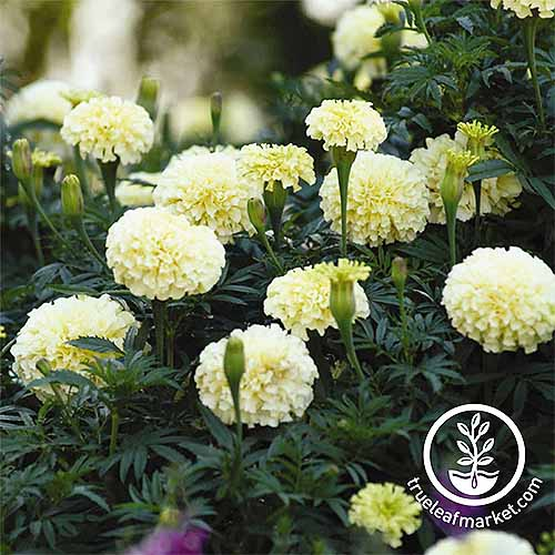 Vanilla Marigolds | GardenersPath.com