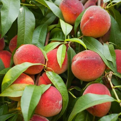 how to grow a peach tree indoors
