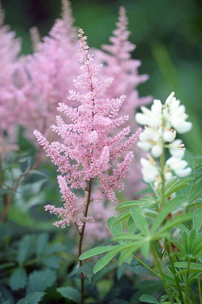 Pink astilbe with feathery blooms alongside other plants. | GardenersPath.com