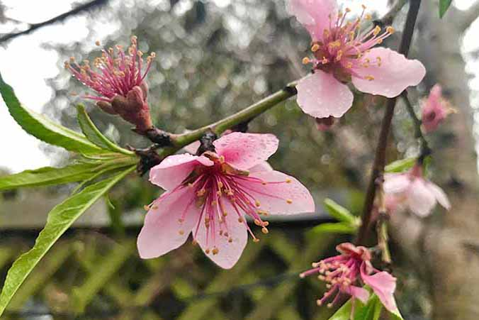 A bright pink flower blossoming from a peach tree | GardenersPath.com