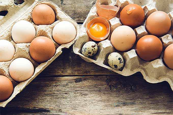 Two cartons of eggs holding the various eggs that can be obtained from chickens and quail. The eggs are different shades of brown varying from almost white to a deep brown color. One of the eggs is broken in half with the yolk resting in the broken shell. Two eggs are smaller and white with black dots on them.