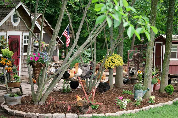 Chickens roosting on a branch held up between two trees. The chickens are covered in feathers of many different colors. There are also chickens scattered around the yard standing on the mulch surrounding the trees. Many flowers are in full bloom surrounding the chickens and the pristine landscaping.