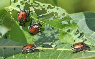 Doing Battle with Japanese Beetles: Tips for Banning Them From Your Garden