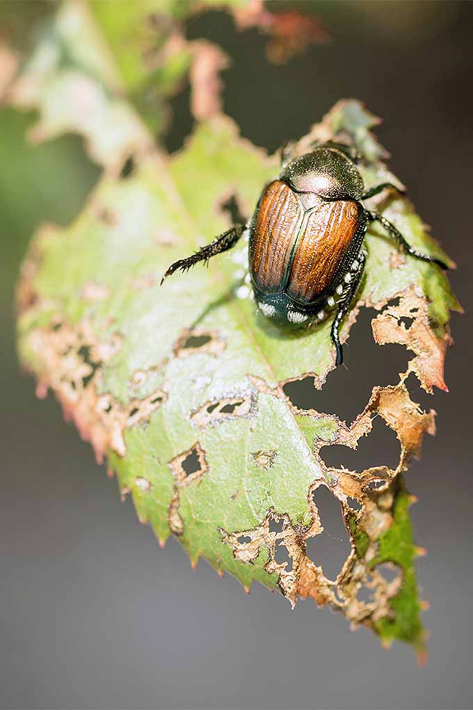 Japanese beetles will devour your rose bushes if you don't know how to get rid of them. | GardenersPath.com