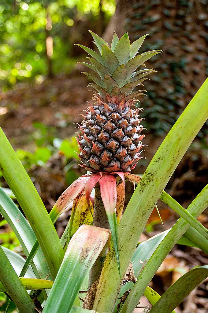 A nearly ripe pineapple is perched at the top of a vertical stalk. The fruit has a slight red tone with longer tendrils than normally seen in these. The plant that bears it has long, rigid and narrow leaves that protrude out in all directions. The plant appears to be growing in a tropical environment.