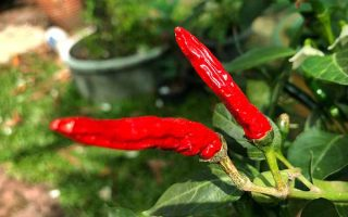 A Bounty Worth Sharing: How to Grow Hot Peppers
