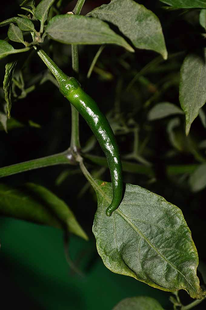 Some like it hot- and if you do, chili plants make the perfect addition to your veggie patch. We share our tips for growing hot peppers at home- read more now on Gardener's Path, or Pin It for later.