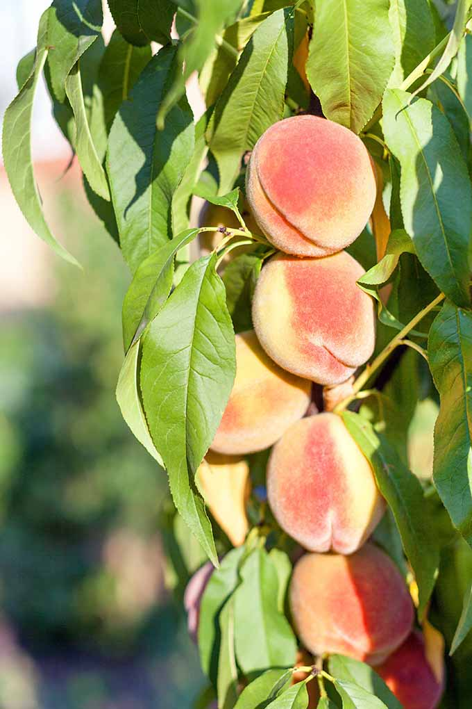 Learn to grow peach trees | GardenersPath.com
