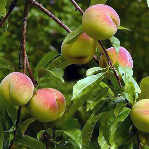 Harken Peach Trees | GardenersPath.com