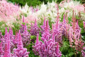 How to Grow Astilbe Flowers: A Shade Gardener's Best Friend