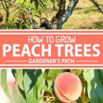 A collage of photos showing different views of peach trees and fresh peaches.