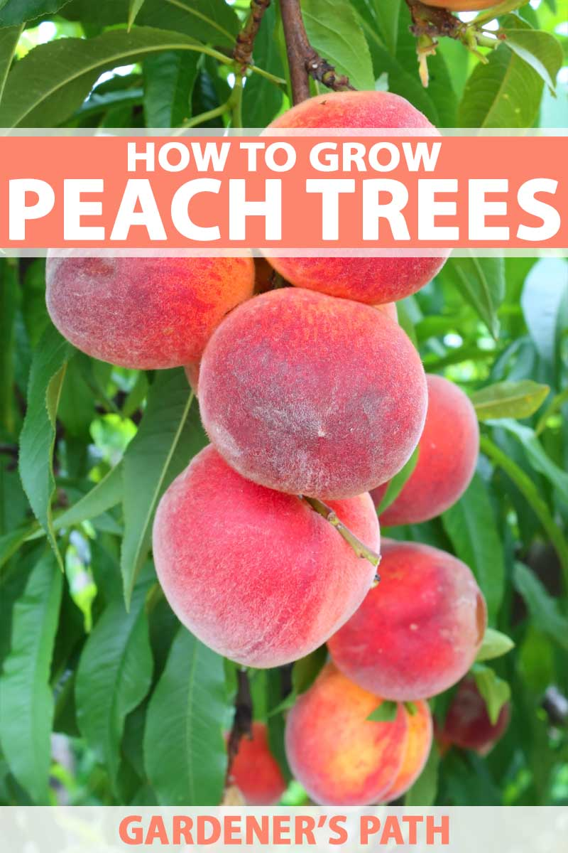 Close up of a batch of fresh and juicy peaches growing on the tree.
