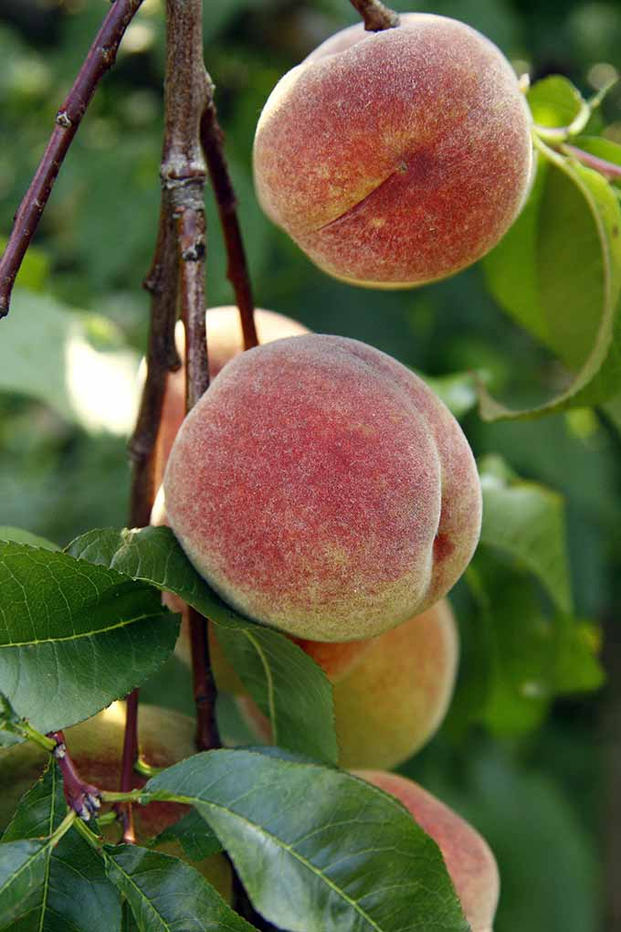 Peaches ready to be picked | GardenersPath.com
